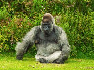 PAC 159 – La disparition des primates dans le monde L'étude de Science Advances, 18 janv. 2017