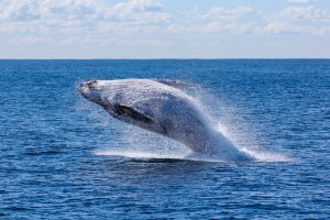 PAC 113 – Biodiversity Threatened by the Market The 65th Meeting of the International Whaling Commission, Portorož, September 11-18, 2014